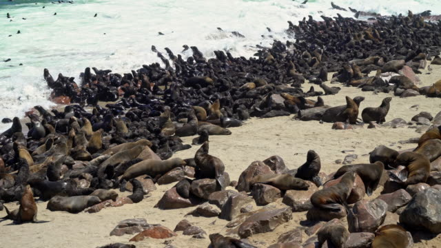vidéos et rushes de colony of brown fur seals, arctocephalus pusillus - lion de mer