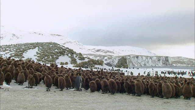 colony of chick king penguins and a grownup king penguin standing in the middle - royal penguin stock videos & royalty-free footage
