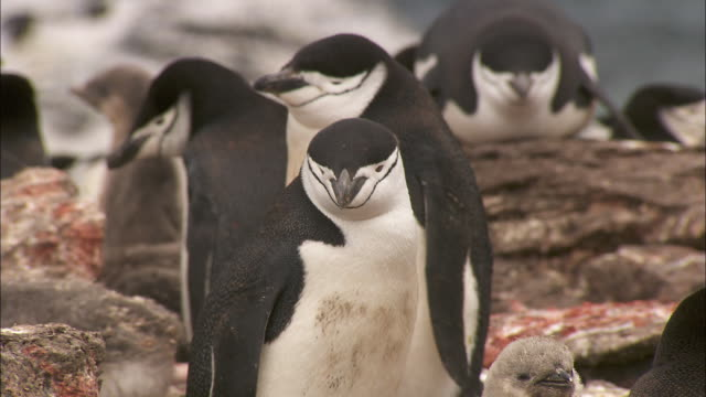 a colony of chinstrap penguins nest on the shoreline of signy island. - medium group of animals stock videos & royalty-free footage