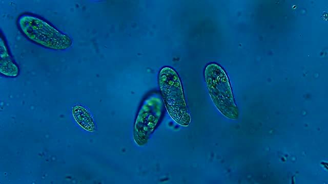水に浮かぶシリエート微生物のコロニー - プランクトン点の映像素材/bロール