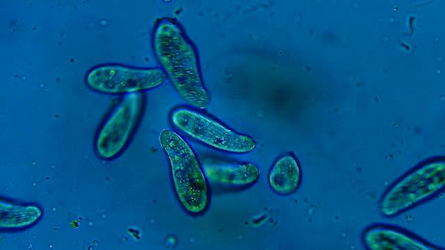 colonia di microrganismi ciliati che galleggiano nell'acqua - organismo unicellulare video stock e b–roll