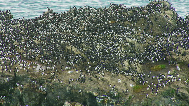 colony of common murre in alaska - large group of animals stock videos & royalty-free footage