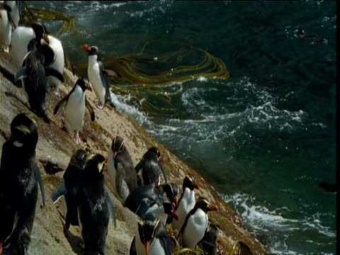 vidéos et rushes de colony of crested penguins on rocky shore, snares island, new zealand - colony