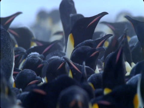 a colony of emperor penguin huddles together. - flightless bird stock videos & royalty-free footage