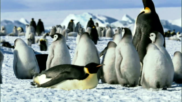 Colony of emperor penguins