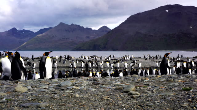 colony of emperor penguins - south georgia island stock videos and b-roll footage