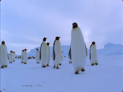 vidéos et rushes de a colony of emperor penguins waddles across a snowfield. - colony
