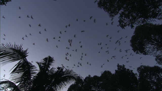 vídeos de stock e filmes b-roll de a colony of flying foxes glides above treetops at dusk. - colony
