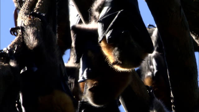 a colony of flying foxes hangs upside down. - upside down stock videos & royalty-free footage