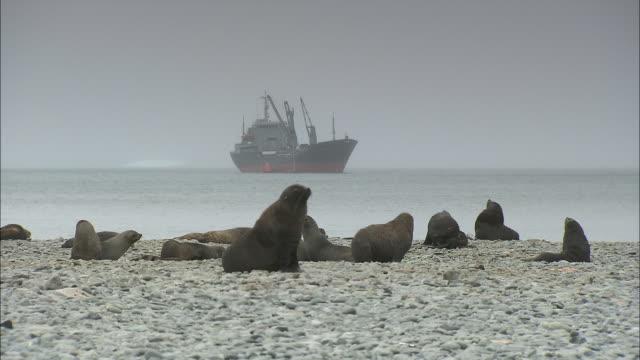 vídeos y material grabado en eventos de stock de a colony of fur seals reside on the shoreline of the south orkney islands. - foca peluda
