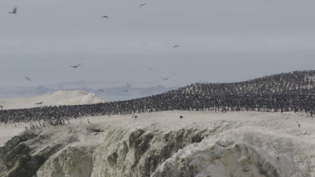 vídeos de stock e filmes b-roll de colony of guanay cormorants and humboldt penguins above cliff/headland - colony