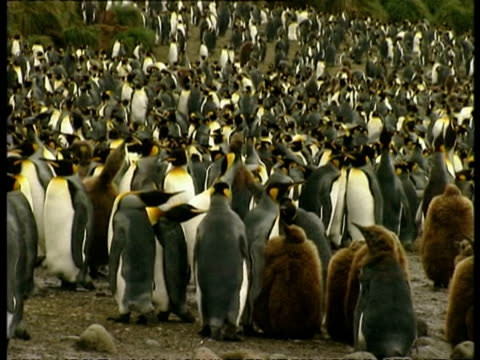 wa colony of king penguins, aptenodytes patagonicus, antarctica - south pole stock videos & royalty-free footage