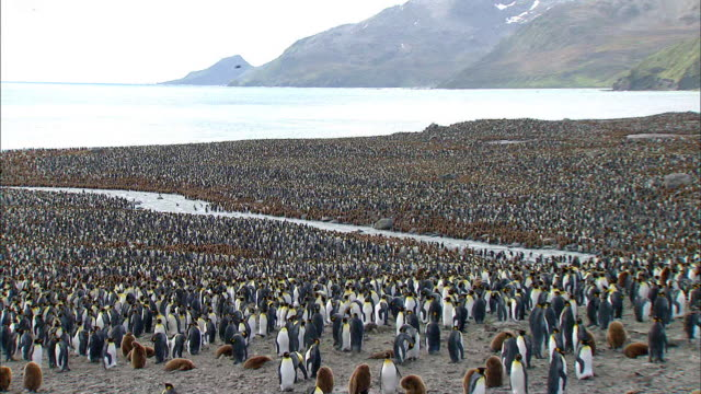 vídeos y material grabado en eventos de stock de colony of king penguins on the beach of south pole - pingüino cara blanca
