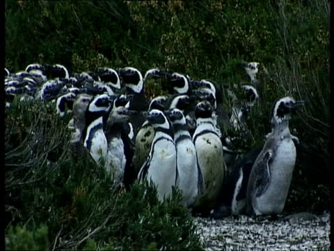 ms colony of magellanic penguins, spheniscus magellanicus, waddling out from bushes, antarctica - waddling stock videos and b-roll footage