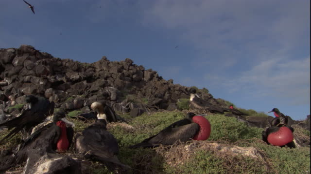 A colony of Magnificent Frigatebirds nest on a cliff top. Available in HD.