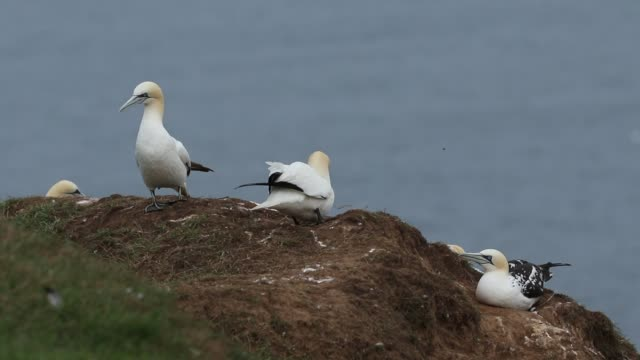 a colony of magnificent gannet, morus bassanus, nesting on cliffs in the uk. - ベンプトン点の映像素材/bロール