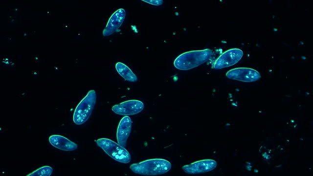 colony of microorganisms siliates, 4k, 60fps - freshwater stock videos & royalty-free footage