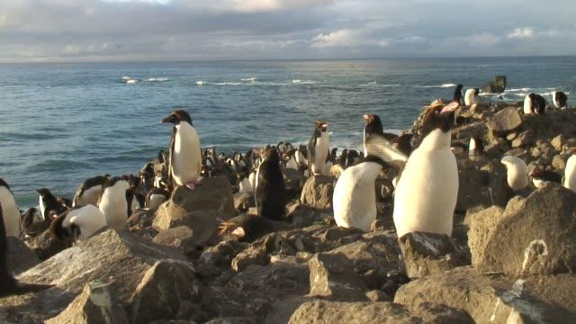 vidéos et rushes de a colony of rockhopper penguins gather on the rocky shores of antarctica. available in hd. - vie sociale