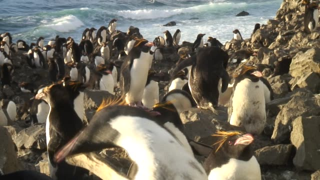 A colony of Rockhopper Penguins gather on the rocky shores of Antarctica. Available in HD.