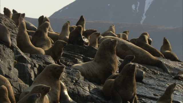 vídeos de stock e filmes b-roll de a colony of sea lions basks on a rocky slope. - leão marinho
