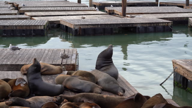 stockvideo's en b-roll-footage met colony of sea lions resting at pier 39 / san francisco, california, usa - pier 39