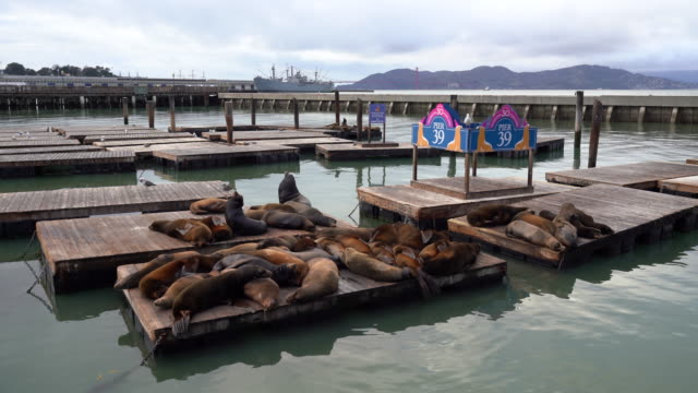 stockvideo's en b-roll-footage met colony of sea lions taking a rest at pier 39 / san francisco, california, usa - pier 39