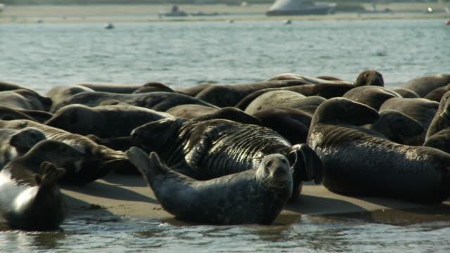 vidéos et rushes de a colony of seals rests and plays on a sandbar. - colony