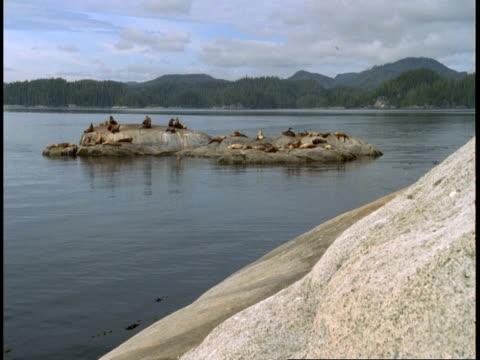 vidéos et rushes de a colony of steller sealions sun bathe on a rock. - colony