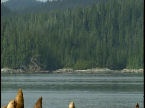 vidéos et rushes de a colony of steller sealions sunbathe on a rock in the pacific ocean. - colony