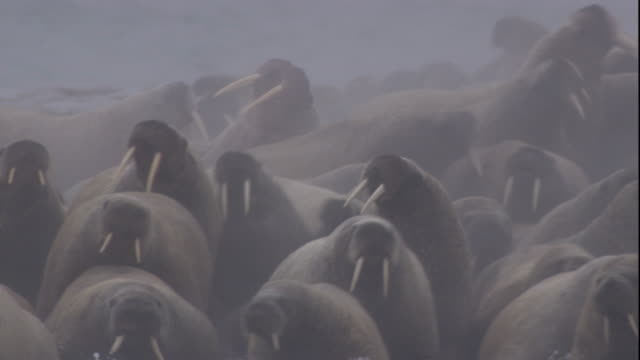 A colony of walruses flee from a polar bear. Available in HD.