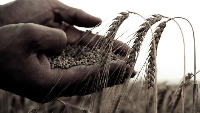 stockvideo's en b-roll-footage met hd: color graded farmer hands with wheat grains - volkorentarwe