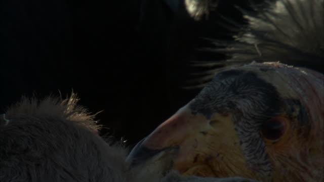color patterns on beak of feeding california condor - california condor stock videos and b-roll footage