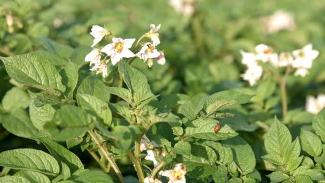 DS CU Colorado beetle attacking potato plant