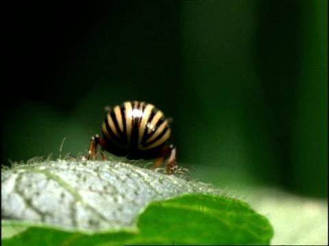 colorado beetle, cu backshot, opens wings & flies down off leaf, england - animal markings stock videos & royalty-free footage