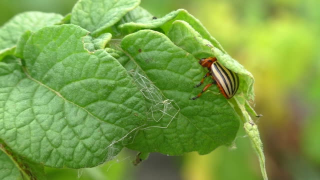 colorado potato beetle hiding in the green leaves - pest stock videos & royalty-free footage