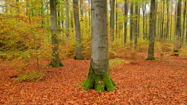 colored autumn beech tree forest, weibersbrunn, forest region spessart, bavaria, north bavaria, germany, europe - tree trunk stock videos & royalty-free footage