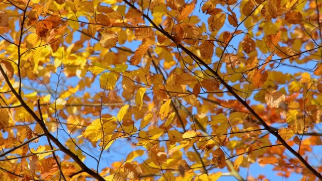 colored beech tree leaves in wind, autumn, amorbach, bavaria, forest region odenwald, germany, europe - ast pflanzenbestandteil stock-videos und b-roll-filmmaterial