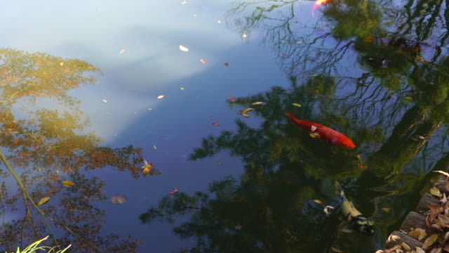 Colored carps swim in the pond and shadow of people reflect to the pond in Rikugien Garden (Traditional Japanese Garden) Bunkyo-ku Tokyo on December 03 2017.