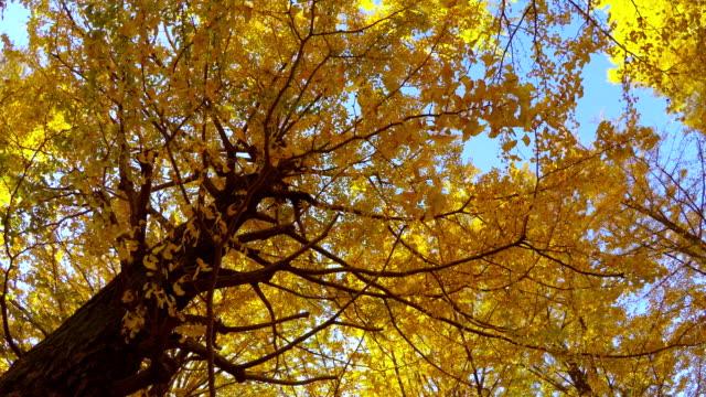 bunte blüten – 4 k - ginkgobaum stock-videos und b-roll-filmmaterial