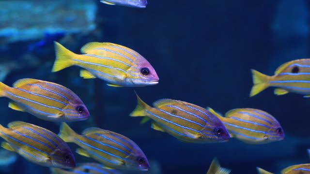 vídeos y material grabado en eventos de stock de pargo colorido de 5 líneas en un arrecife de coral tropical. - colonia grupo de animales