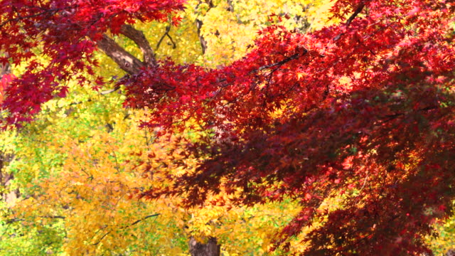 colorful autumn leaves are shaking by winds at yoyogi park shibuya tokyo japan on november 29 2017. - autumn leaf color stock videos and b-roll footage