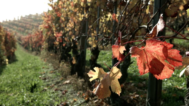colorful autumn leaves close up in a vineyard - piemonte video stock e b–roll