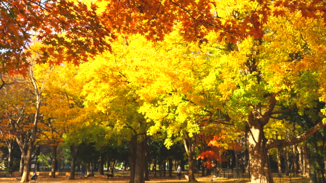 colorful autumn leaves trees are shaking by winds, which stand in the dogrun area at yoyogi park shibuya tokyo japan on november 29 2017. - autumn leaf color stock videos and b-roll footage