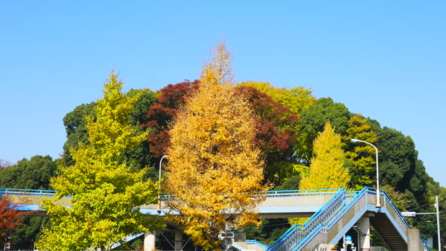 colorful autumn leaves trees stand and surround the elevated pedestrian bridge under the clear blue sky at harajuku district shibuya tokyo japan on november 29 2017. people walk on the bridge. - treelined stock videos & royalty-free footage