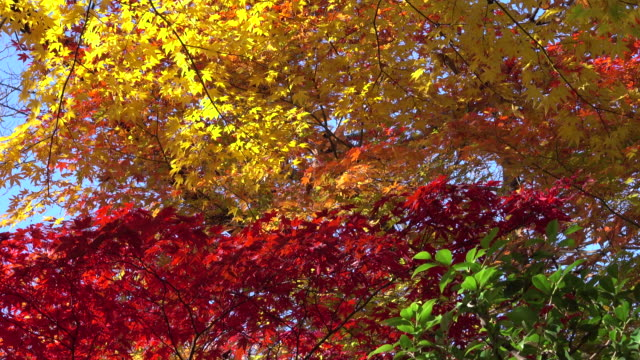 colorful autumn leaves - autumn stock videos & royalty-free footage