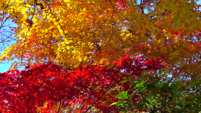 colorful autumn leaves - satoyama scenery stock videos & royalty-free footage