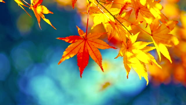 stockvideo's en b-roll-footage met colorful autumn maple leaves - herfst