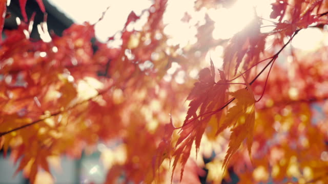 colorful autumn maple leaves - maple leaf stock videos and b-roll footage