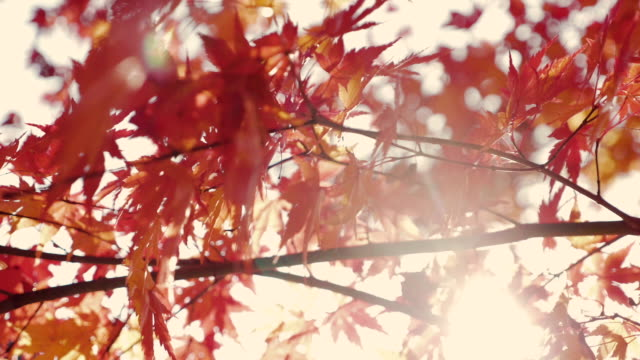 colorful autumn maple leaves - autumn leaf color stock videos and b-roll footage