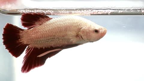 vídeos de stock, filmes e b-roll de peixes beta coloridos nadando no pote de água - bichos mimados